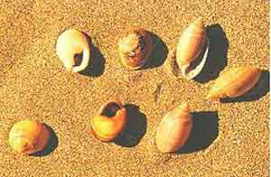 seashells - cyclope & acteon.jpg
